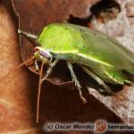 Panchlora nivea – karaczan zielony, karaczan bananowy