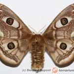 Saturnia pavonia – pawica grabówka