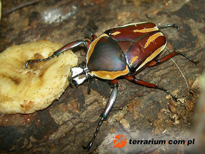 Dicronorrhina derbyana conradsi