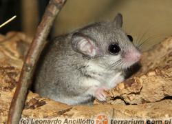"Graphiurus murinus – pędzlogon zwinny, ""popielica afrykańska"""