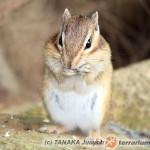 Eutamias sibiricus – burunduk