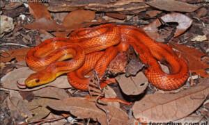 Pantherophis alleghaniensis – wąż smugowy