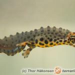 Triturus (Lissotriton) vulgaris – traszka zwyczajna