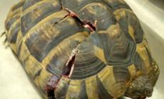 Testudines – żółwie – najczęstsze choroby i nieprawidłowości związane z pancerzem
