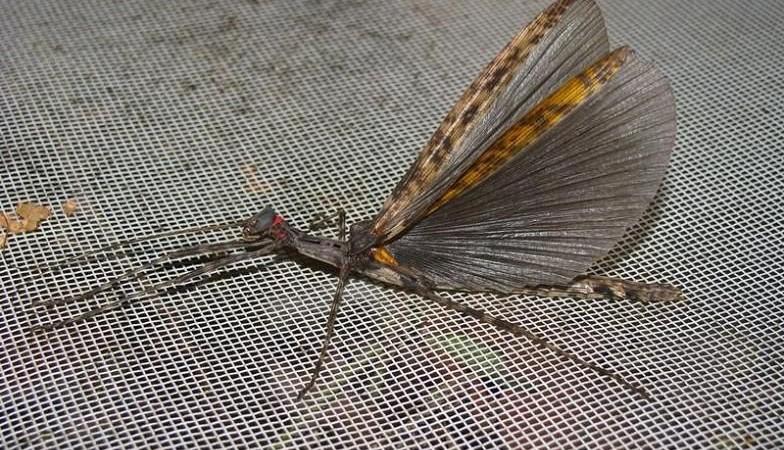 Trachythorax maculicollis