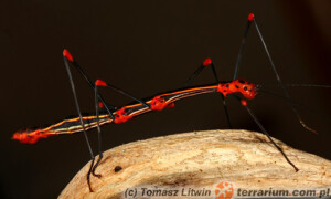 Oreophoetes peruana – patyczak peruwiański