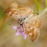 Lepidoptera – Motyle