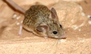 Calomyscus spp. – myszochomik