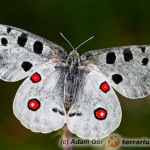 Parnassius apollo – niepylak apollo