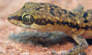 Tropiocolotes steudneri – gekon pigmejski