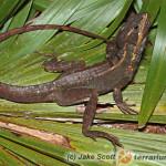 Basiliscus vittatus – bazyliszek pręgowany