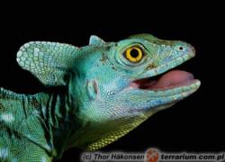 Basiliscus plumifrons – bazyliszek płatkogłowy