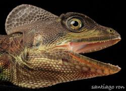 Basiliscus galeritus – bazyliszek ekwadorski