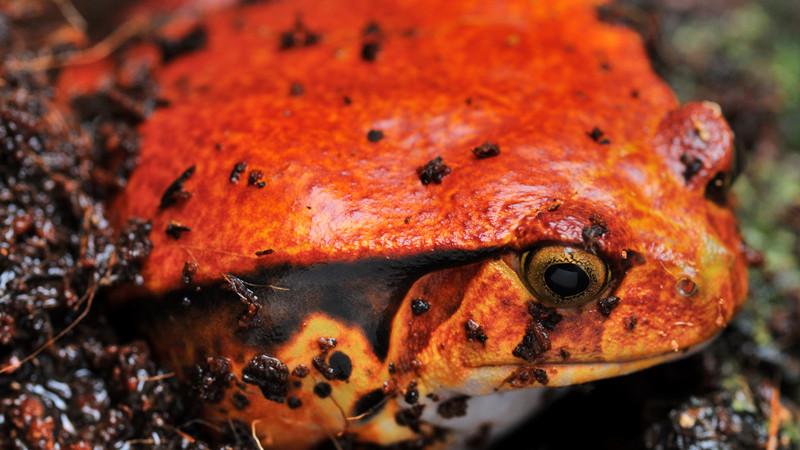 Dyscophus guineti – żaba pomidorowa*