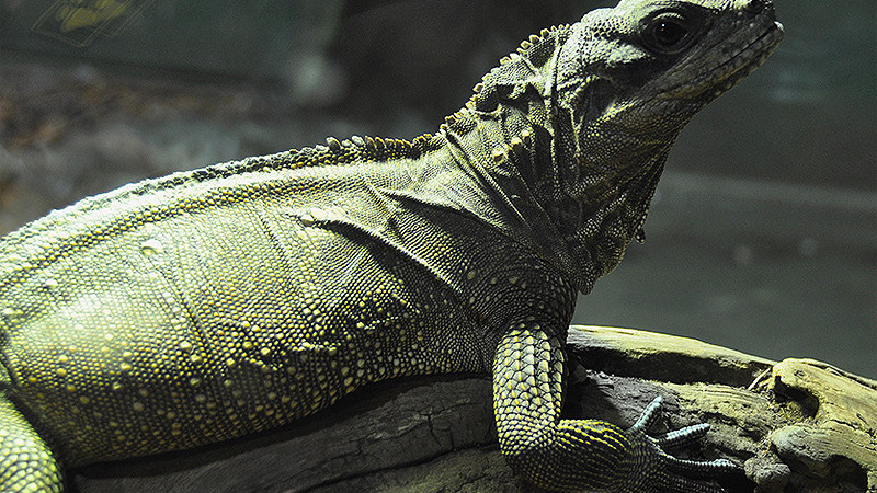 Hydrosaurus amboinensis – agama żaglowa