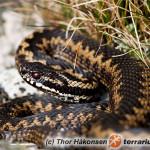 Vipera berus – żmija zygzakowata