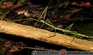 Phobaeticus serratipes – patyczak gigant