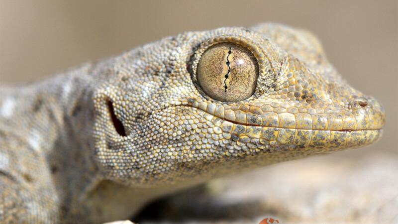 Ptyodactylus guttatus – gekon wachlarzopalcy*