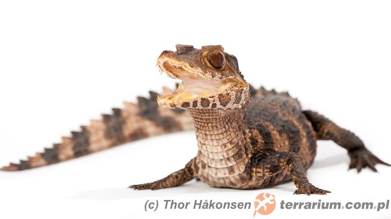Paleosuchus palpebrosus – kajman Cuviera, kajman karzełkowaty