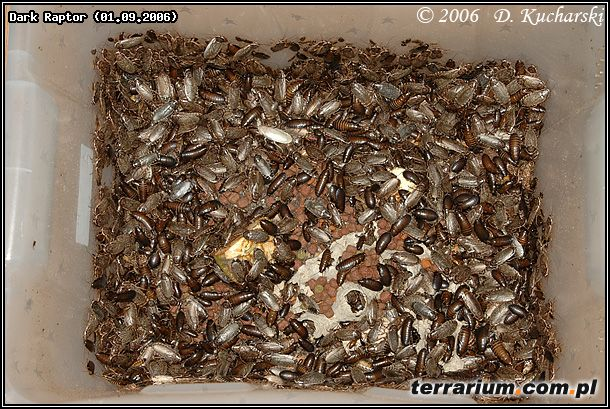 Karaczany – hodowla karmowa