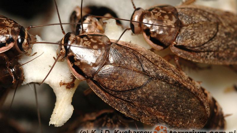 Nauphoeta cinerea – karaczan szary