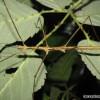 Samiec postaci dorosłej - Parapachymorpha spiniger