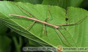 Sipyloidea sipylus – patyczak skrzydlaty