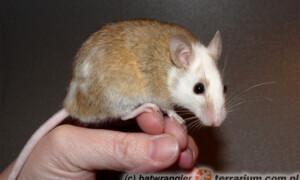 Mastomys (Praomys) natalensis – myszorówka natalska
