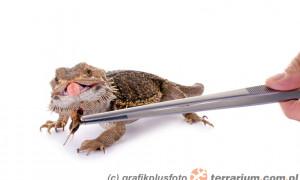 Oswajanie jaszczurek