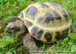Prawidłowe warunki dla żółwi stepowych (Testudo horsfieldii)