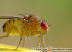 Drosophila spp. – muszki owocowe