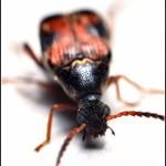 Acanthoscelides spp., Callosobruchus spp. – strąkowce