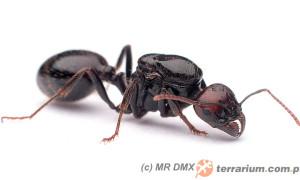 Messor spp. – mrówki żniwiarki