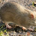 Szczury – hodowla karmowa