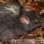Rattus rattus – szczur śniady