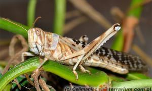 Locusta migratoria – szarańcza wędrowna