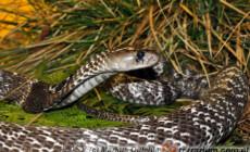 Naja naja – kobra indyjska