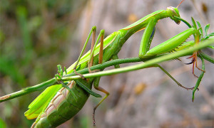 Mantis religiosa – modliszka zwyczajna