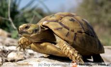 Testudo graeca – żółw mauretański, iberyjski,śródziemnomorski
