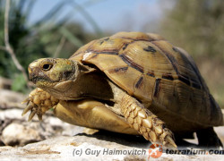 Testudo graeca – żółw mauretański