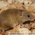 Mus musculus – mysz domowa