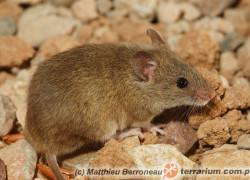 Myszy – hodowla karmowa