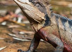 Intellagama (Physignathus) lesueurii – australijska agama wodna*