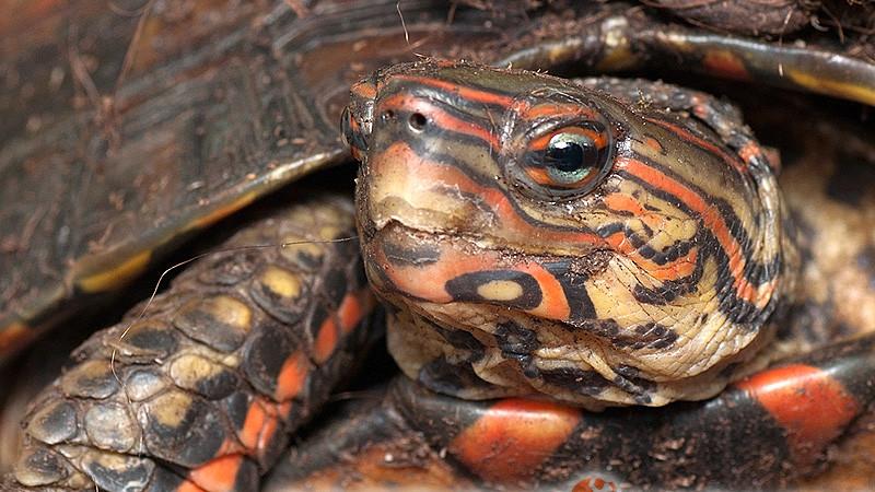 Rhinoclemmys pulcherrima – żółw leśny malowany*, żółw leśny ozdobny**