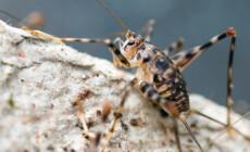 Phaeophilacris bredoides – śpieszek jaskiniowy