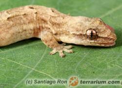 Lepidodactylus lugubris – gekon płaczący