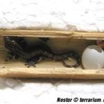 Lepidodactylus lugubris – gekon płaczący – raport rozmnożeniowy