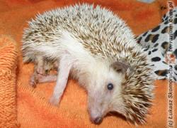 Wobbly hedgehog syndrome –  tajemnicza choroba jeży afrykańskich