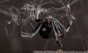 Latrodectus spp. – czarne wdowy
