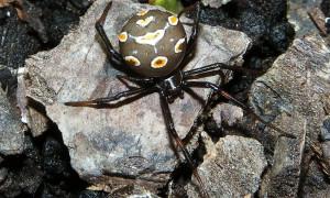 Latrodectus tredecimguttatus – karakurt, karakurt trzynastokropki, malmignat